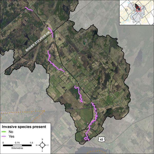 Figure 36 Invasive species along Rosedale Creek